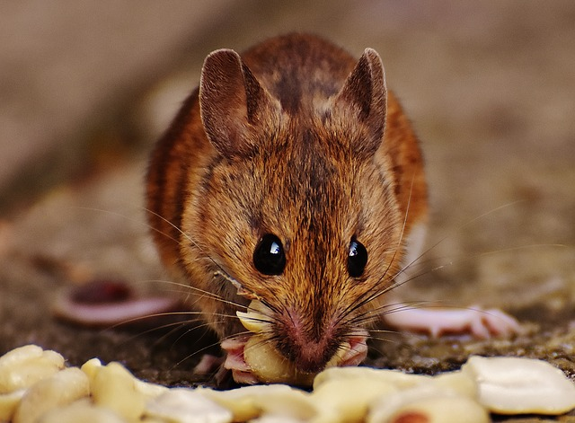 夢 占い ネズミ