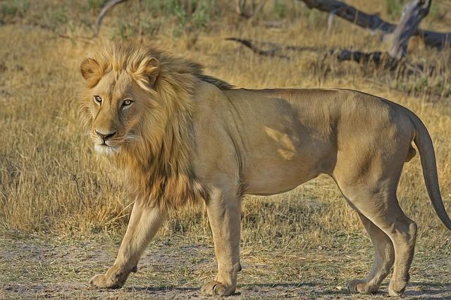 ライオンの夢占い