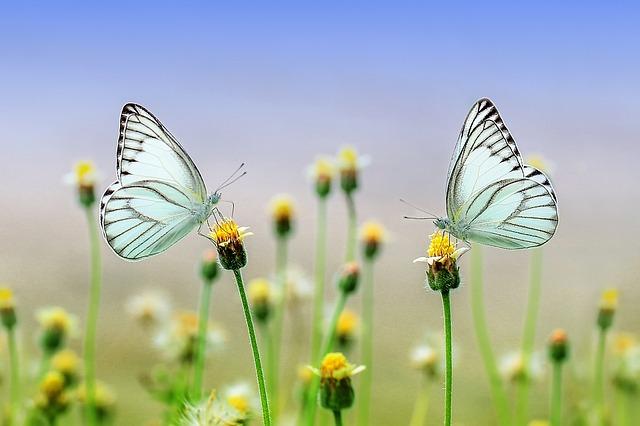蝶の夢占い
