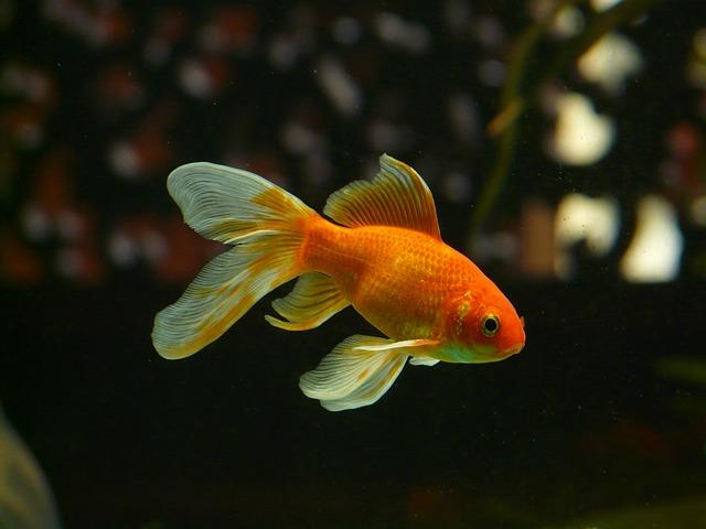 金魚の夢占い